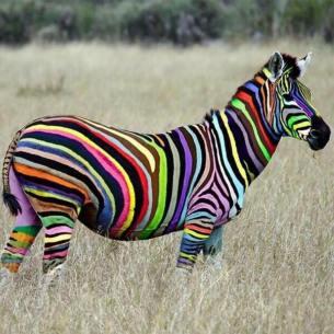 zebre couleurs